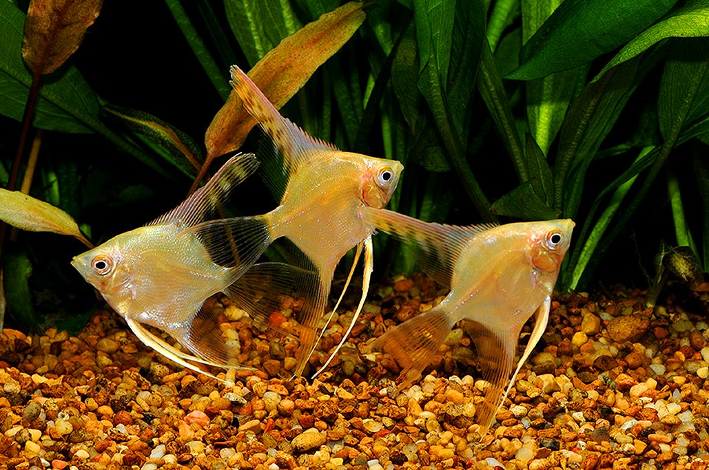 Angelfish - Yellow Platinum Veil - Large